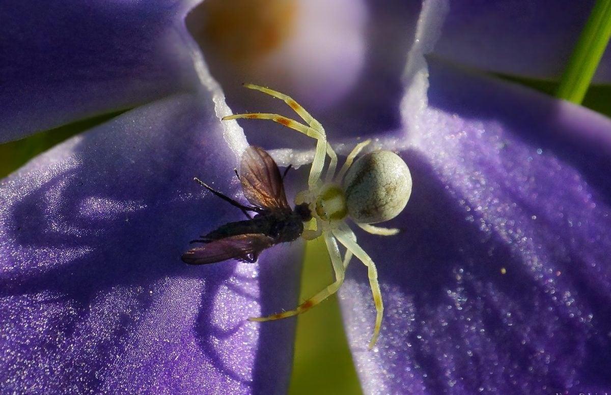 flor, insecto, jardín, naturaleza, verano, hoja, araña blanca, sombra, artrópodo