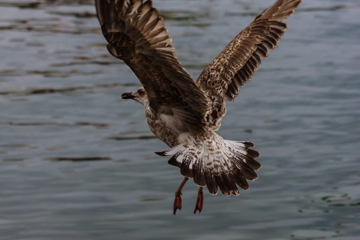 vida silvestre, aves acuáticas, agua, aves, vuelo, plumas, vuelo