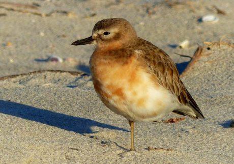 fauna selvatica, uccello, animale, natura, Sandpiper, uccello, becco