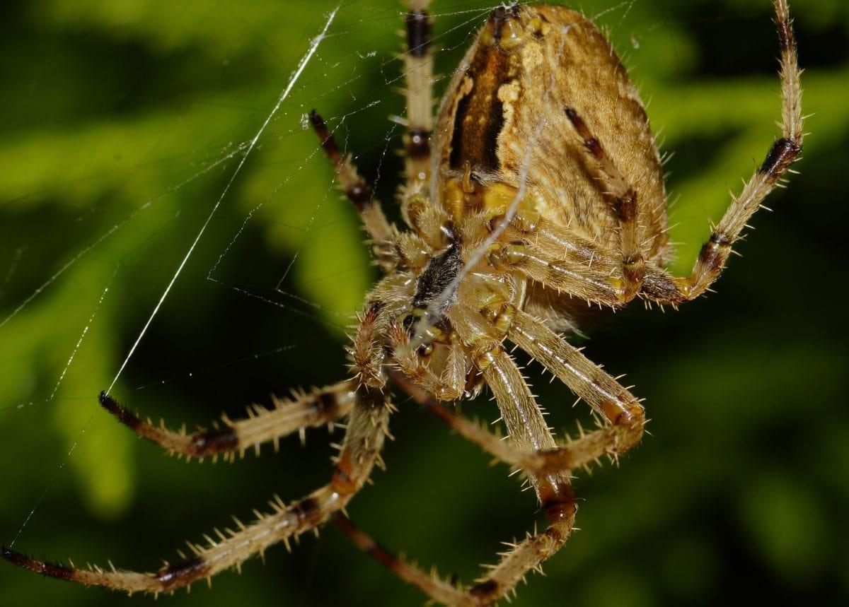 brown spider, insect, wildlife, animal, spiderweb, nature, cobweb