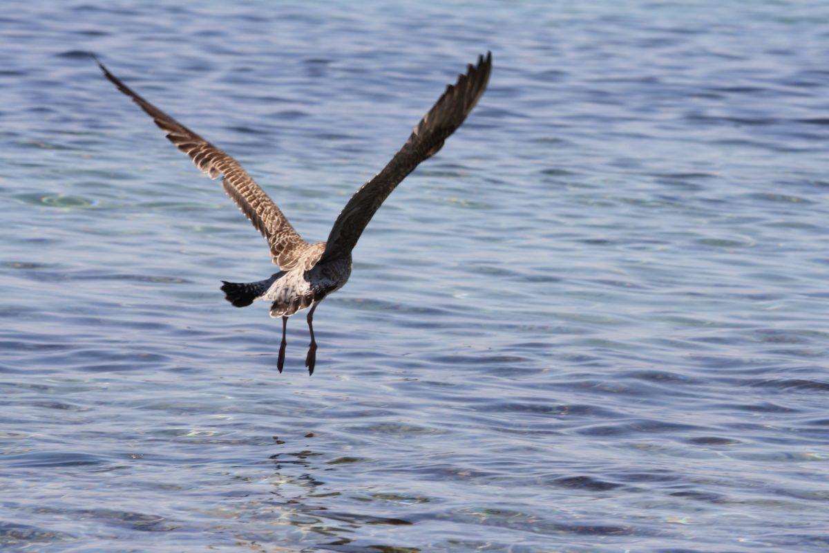 ptica, biljni i životinjski svijet, priroda, voda, morska ptica, letenje, divlja, pero