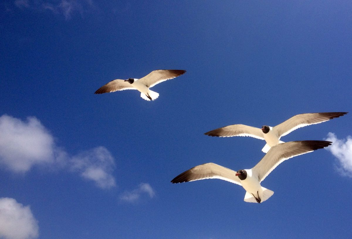 nature, blue sky, bird, flight, wildlife, seabird, seagull, feather, wing