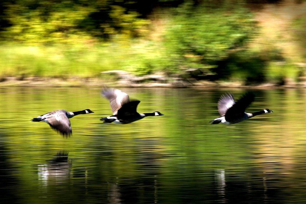 See, schwarze Gans, Tierwelt, Vogel, Flucht, Wasser, Natur, Wasservögel