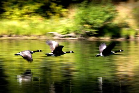 lake, black goose, wildlife, bird, flight, water, nature, waterfowl