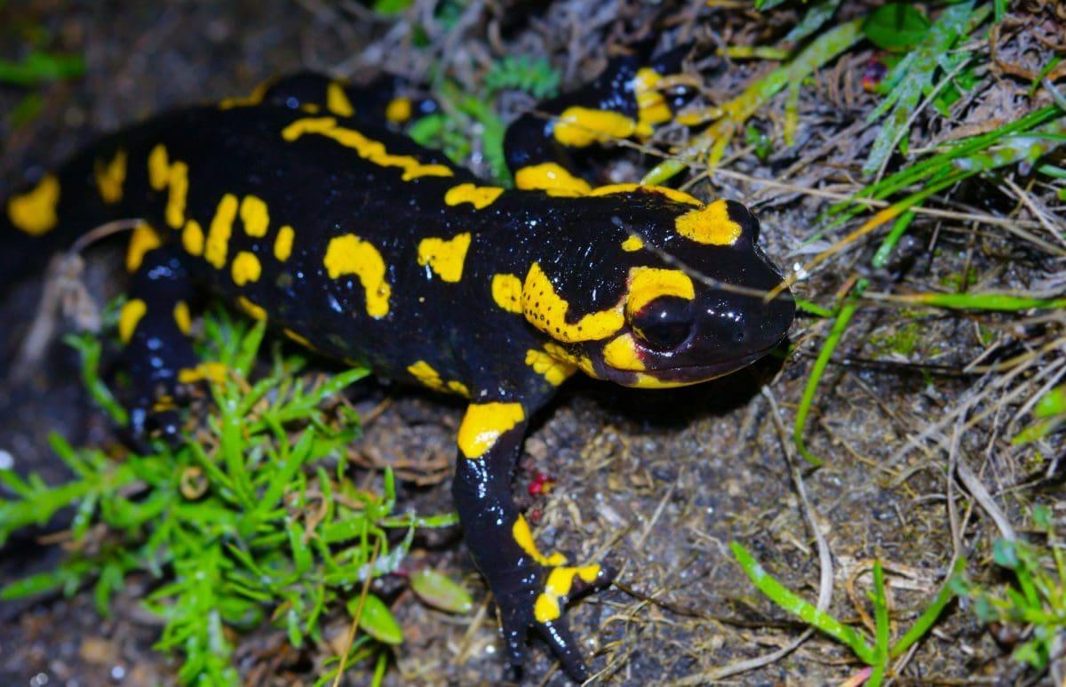 colorful salamander, wildlife, amphibian, nature, animal, eye