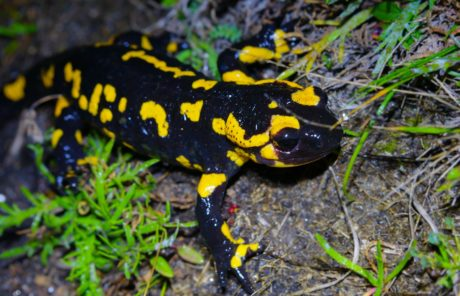colorful salamander, wildlife, amphibian, nature, animal, eye