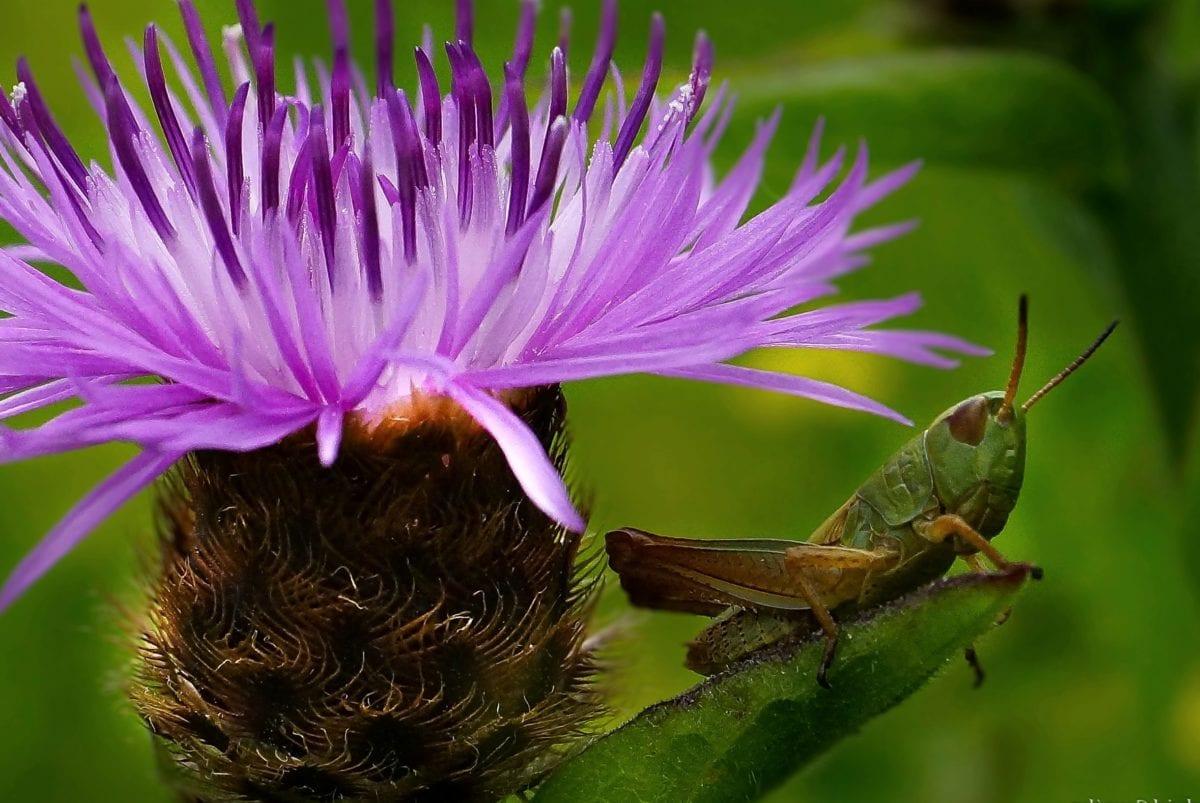 grasshopper, leaf, garden, flower, nature, insect, vegetable, plant, herb