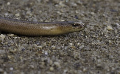 sand, animal, nature, reptile, wildlife, snake, ground, viper