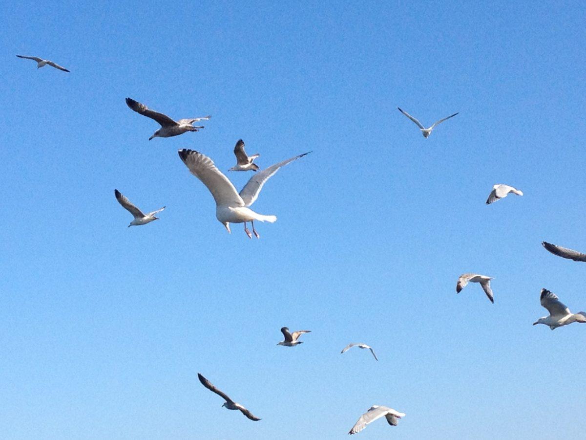 natura, gâscă, pasăre, faunei sălbatice, cerul albastru, de zbor, pescăruş, turma