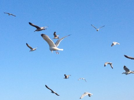 nature, goose, bird, wildlife, blue sky, flight, seagull, flock