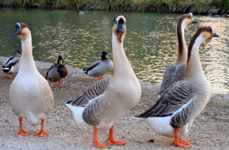 goose, wildlife, waterfowl, bird, nature, poultry, lake, daylight