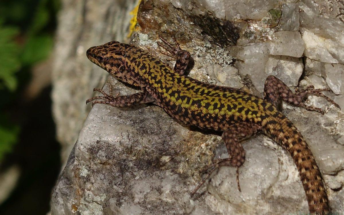Brown Lizard, vilde, dyr, dyreliv, krybdyr, natur, Salamander