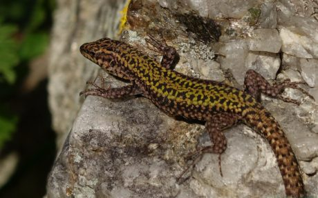lézard brun, sauvage, animal, faune, reptile, nature, Salamandre