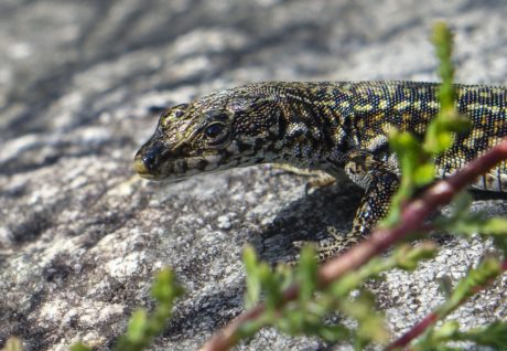 faune, animal, lézard, reptile, nature, sauvage, amphibien