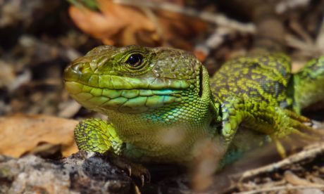exotic animal, wildlife, wild, green lizard, nature, reptile