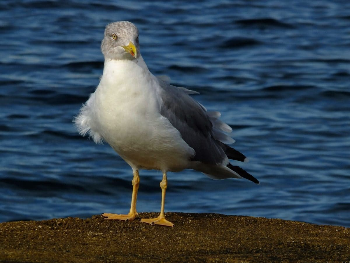 wildlife, bird, seabird, beak, feather, seagull, water, outdoor, coast