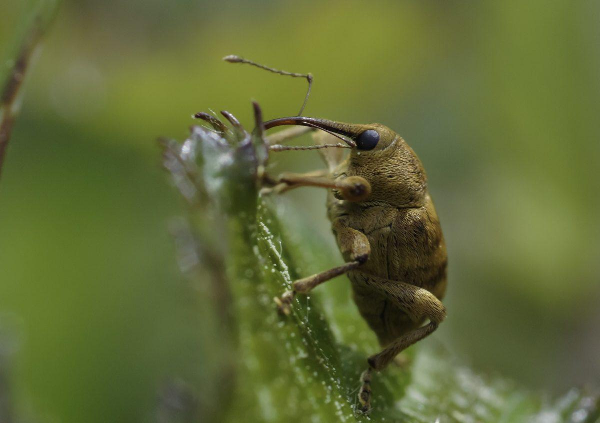 животински, безгръбначни, природа, насекоми, дивата природа, кафяв бръмбар, членестоноги