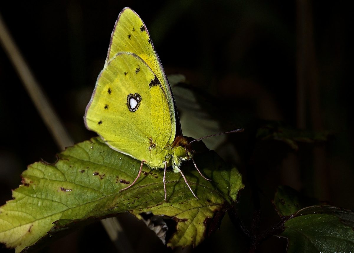 green butterfly, insect, invertebrate, nature, colorful, mimicry, shadow, arthropod