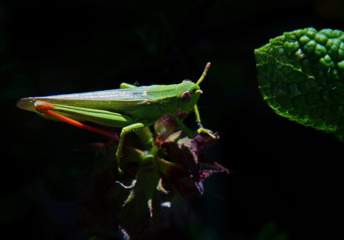 hoja, invertebrados, saltamontes, sombra, insecto, oscuridad, artrópodos