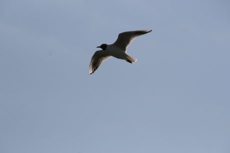 wildlife, blue sky, bird, seagull, seabird, flight, feather