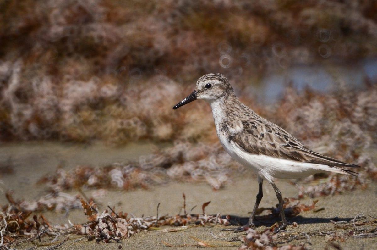 자연, 새, 야생 생물, shorebird, 야생, 샌드 파이퍼, 부리