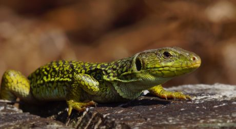 lizard, reptile, wild, wildlife, animal, nature, natural habitat, daylight