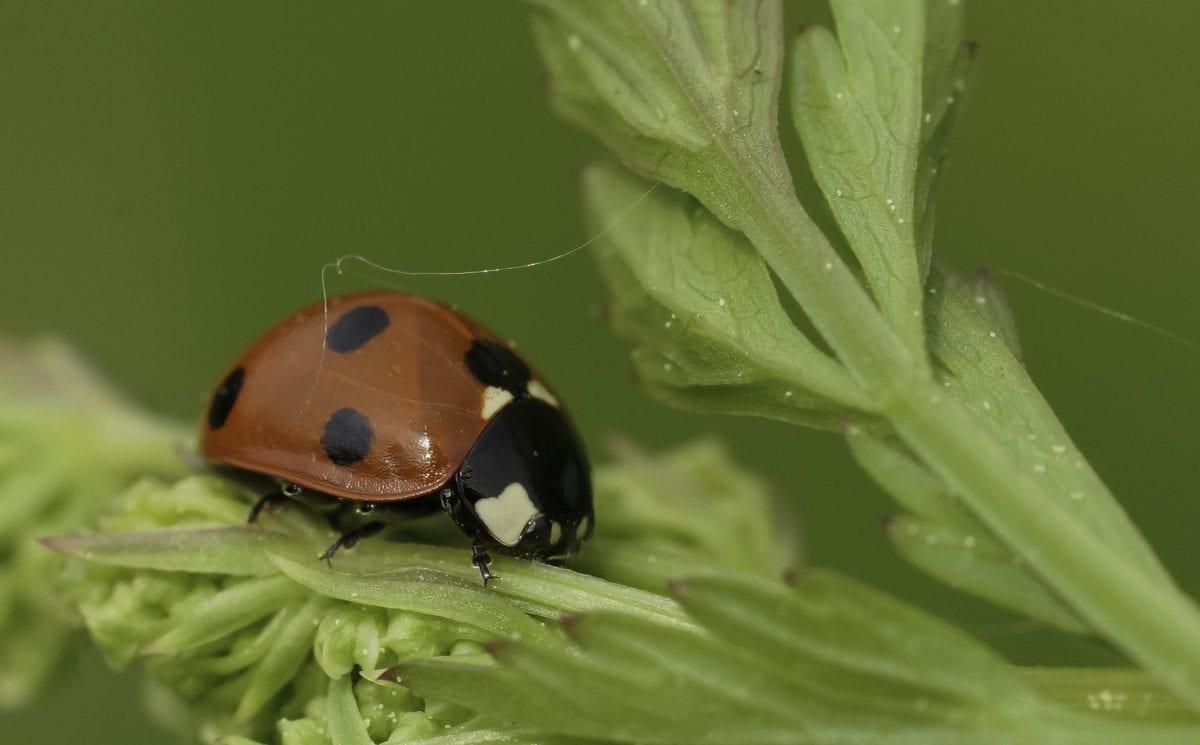 hmyz, ekologie, příroda, zelený list, Rosa, beruška, červený brouk, členovců