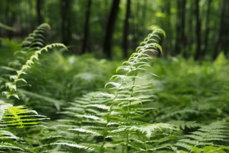 nature, summer, fern, green leaf, wood, plant, forest
