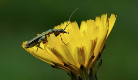 beetle, detail, insect, nature, plant, herb, yellow flower, garden, summer, blossom