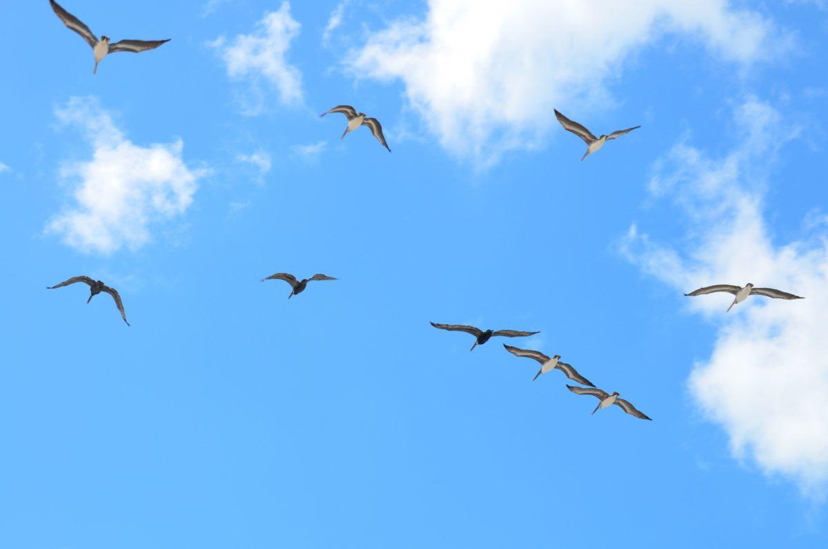 pták, modrá obloha, divoká zvěř, let, Racek, Flock, mrak, migrace, ornitologie