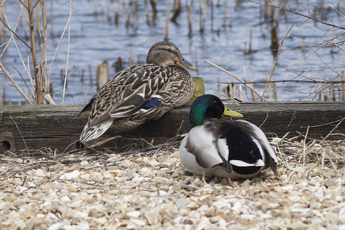 bird, duck, wildlife, nature, waterfowl, wild, feather, water