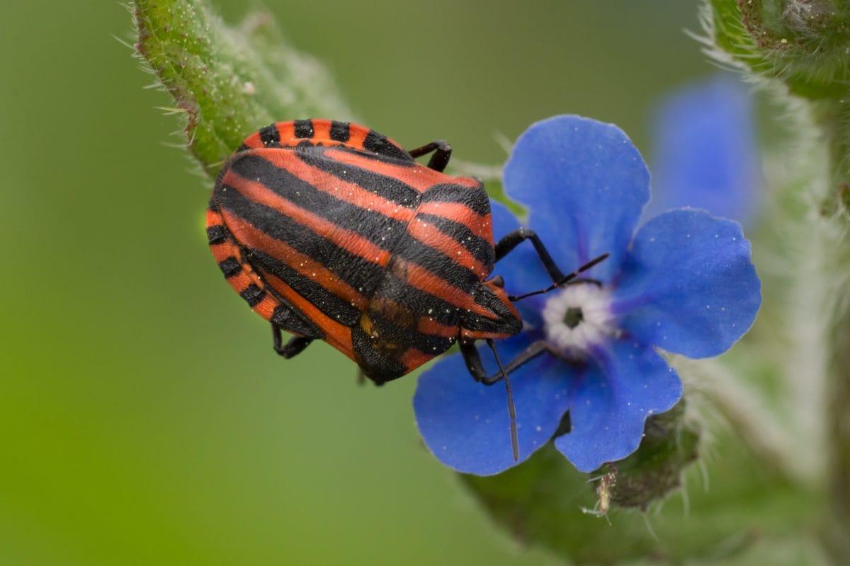 Natura, fioletowy kwiat, czerwony chrząszcz, owad, szczegół, stawonogów, ogród, roślin