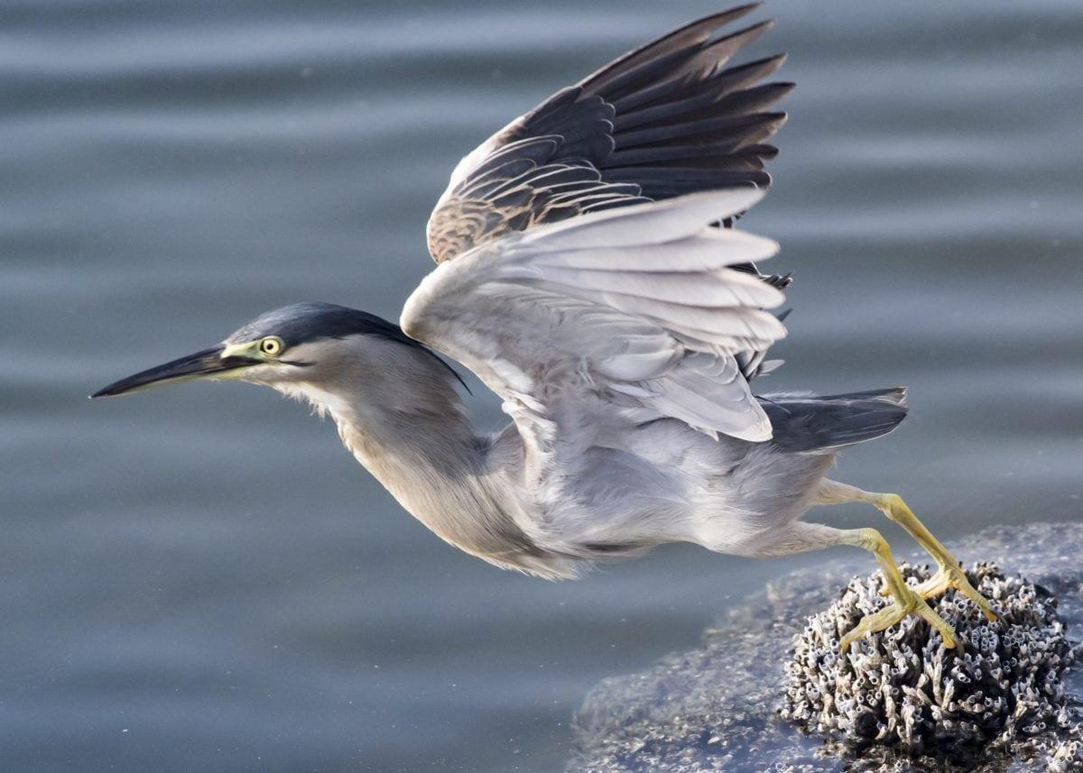 heron, flight, coast, animal, water, beak, feather, wildlife, bird, nature