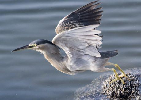 Heron, Flight, Coast, dyr, vann, nebb, fjær, dyreliv, fugl, natur