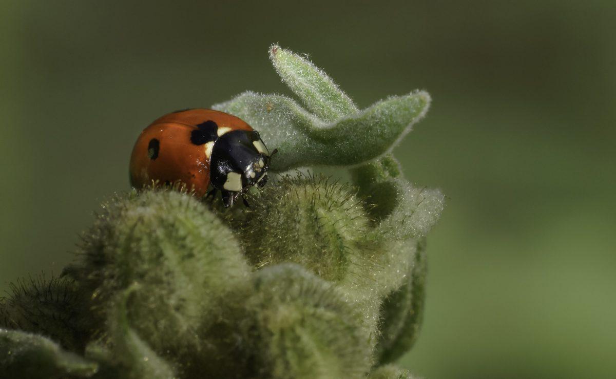 insekter, ladybug, natur, Beetle, leddyr, rød bug, anlegg, grønne blad