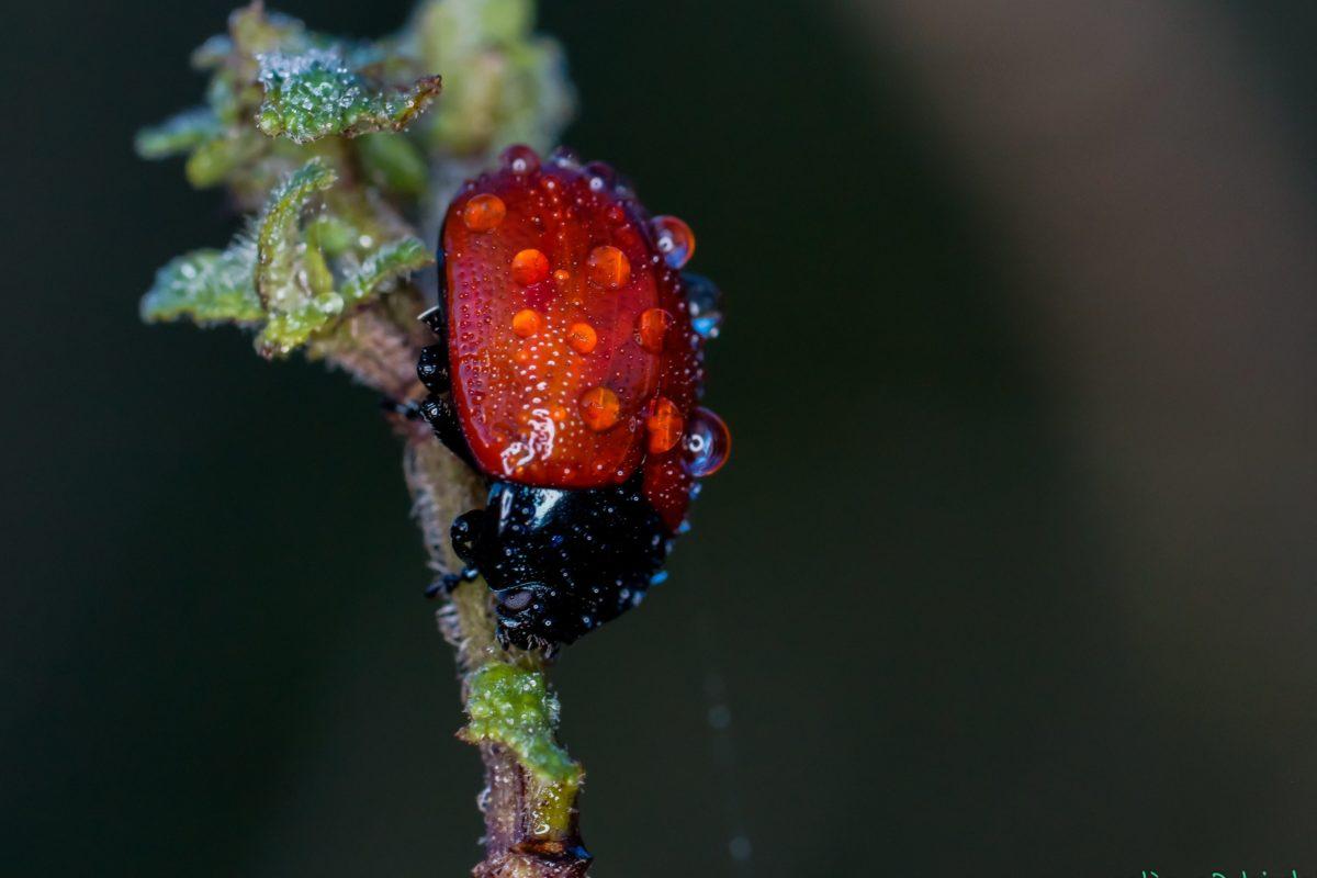 nature, invertébré, insecte, coléoptère, rosée, pluie, détail, coccinelle, arthropode