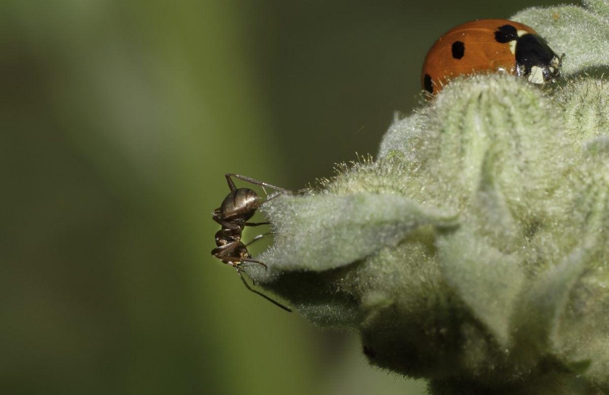 kiến, côn trùng, xương sống, động vật hoang dã, thiên nhiên, ladybug, beetle, nhà máy