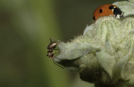 мравка, насекоми, безгръбначни, дивата природа, природата, калинка, бръмбар, растение