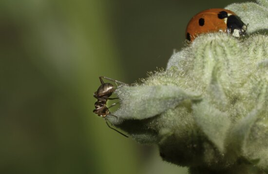 ant, insect, invertebrate, wildlife, nature, ladybug, beetle, plant