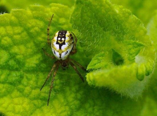 nature, feuille verte, insecte, araignée blanche, arthropode, insecte, invertébré