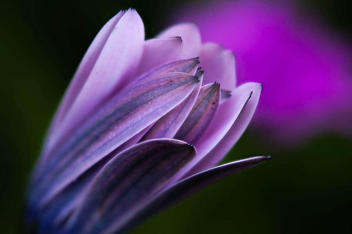 nature, purple flower, petal, blossom, pink, shadow, herb