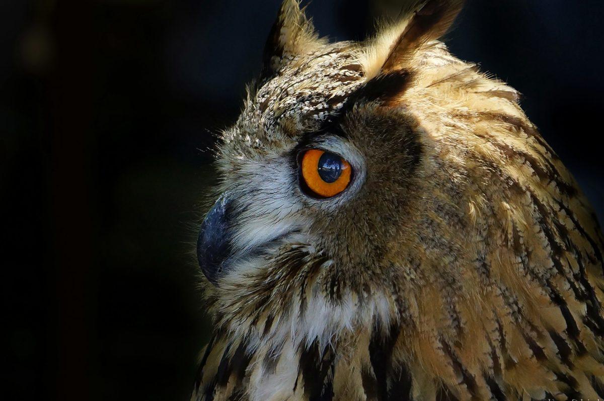 portret, ptica, sova, Raptor, predator, sjena, divljina, oko