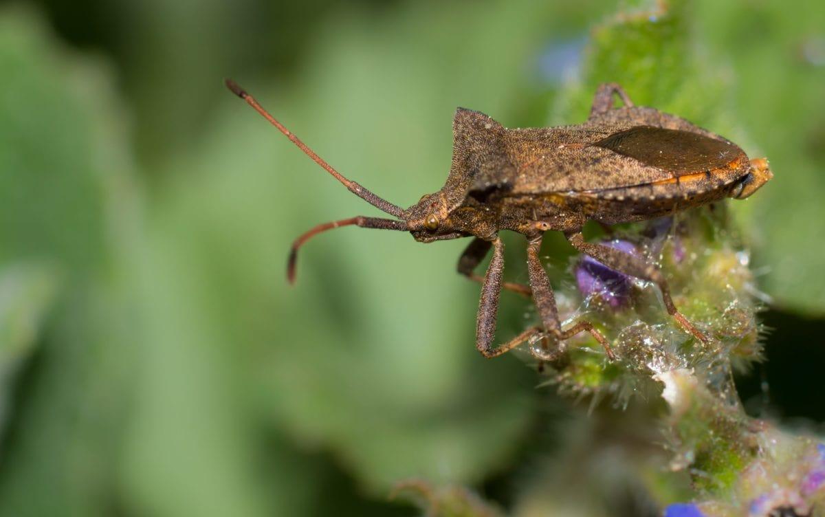 безгръбначни, дивата природа, насекоми, природа, животните, кафяв бръмбар, листа