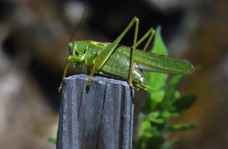 fauna, naturaleza, saltamontes, invertebrados, hoja verde, insecto