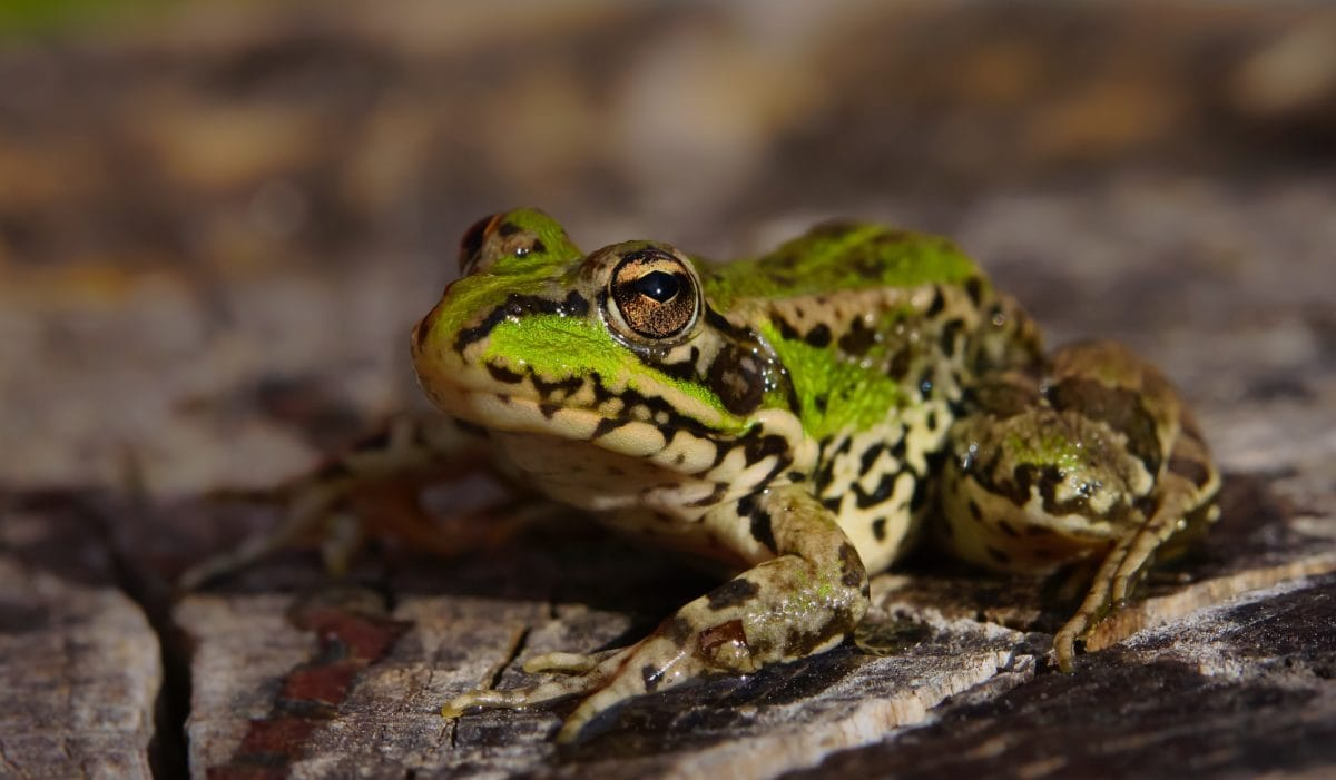 nature, animal, colorful frog, reptile, wildlife, amphibian, eye