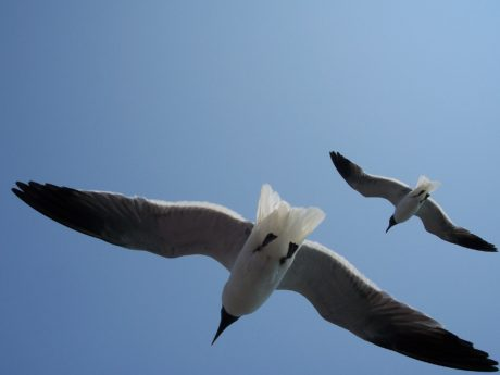 bird, flight, wildlife, flight, nature, blue sky, seabird, seagull, feather