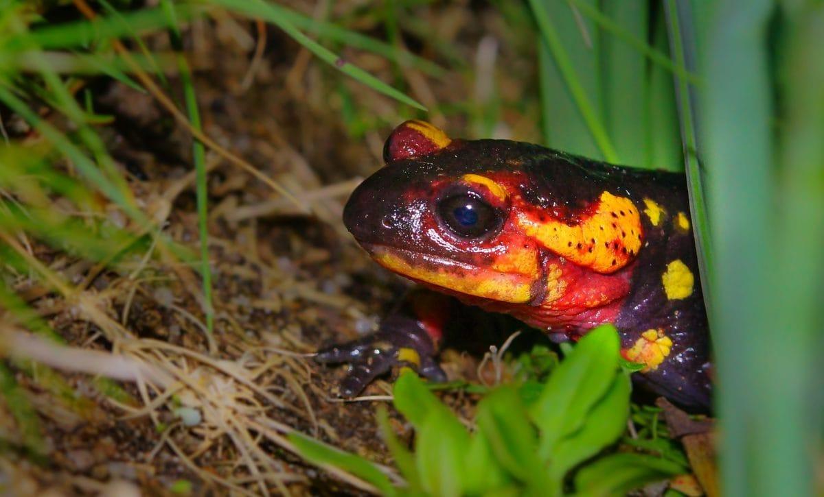 nature, amphibian, salamander, frog, eye, animal, wildlife, green grass