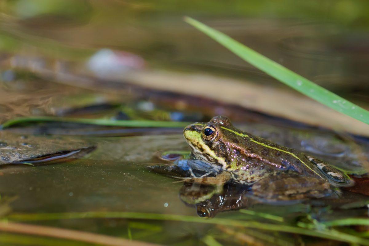 dyreliv, padder, vand, frø, natur, øjne, naturlige habitat