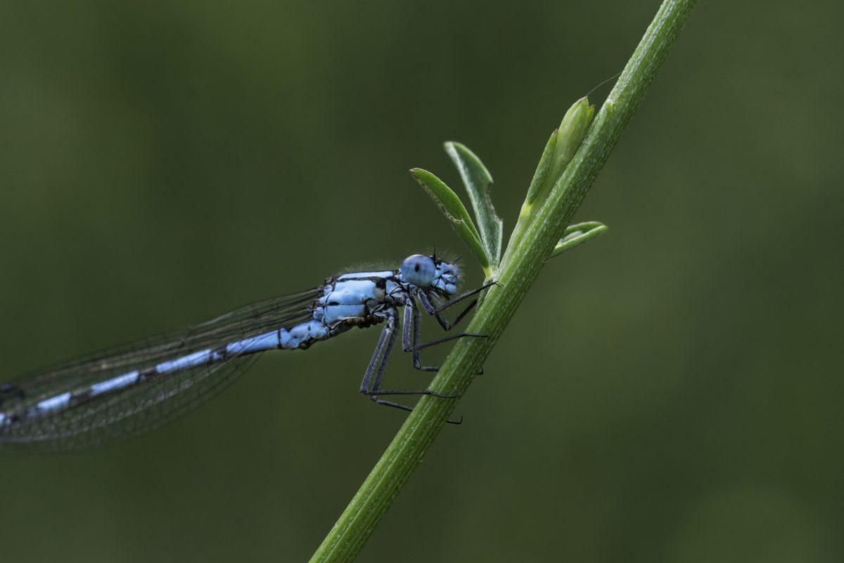 insekt, beskraljak, plavi Dragonfly, divljina, priroda, Arthropod