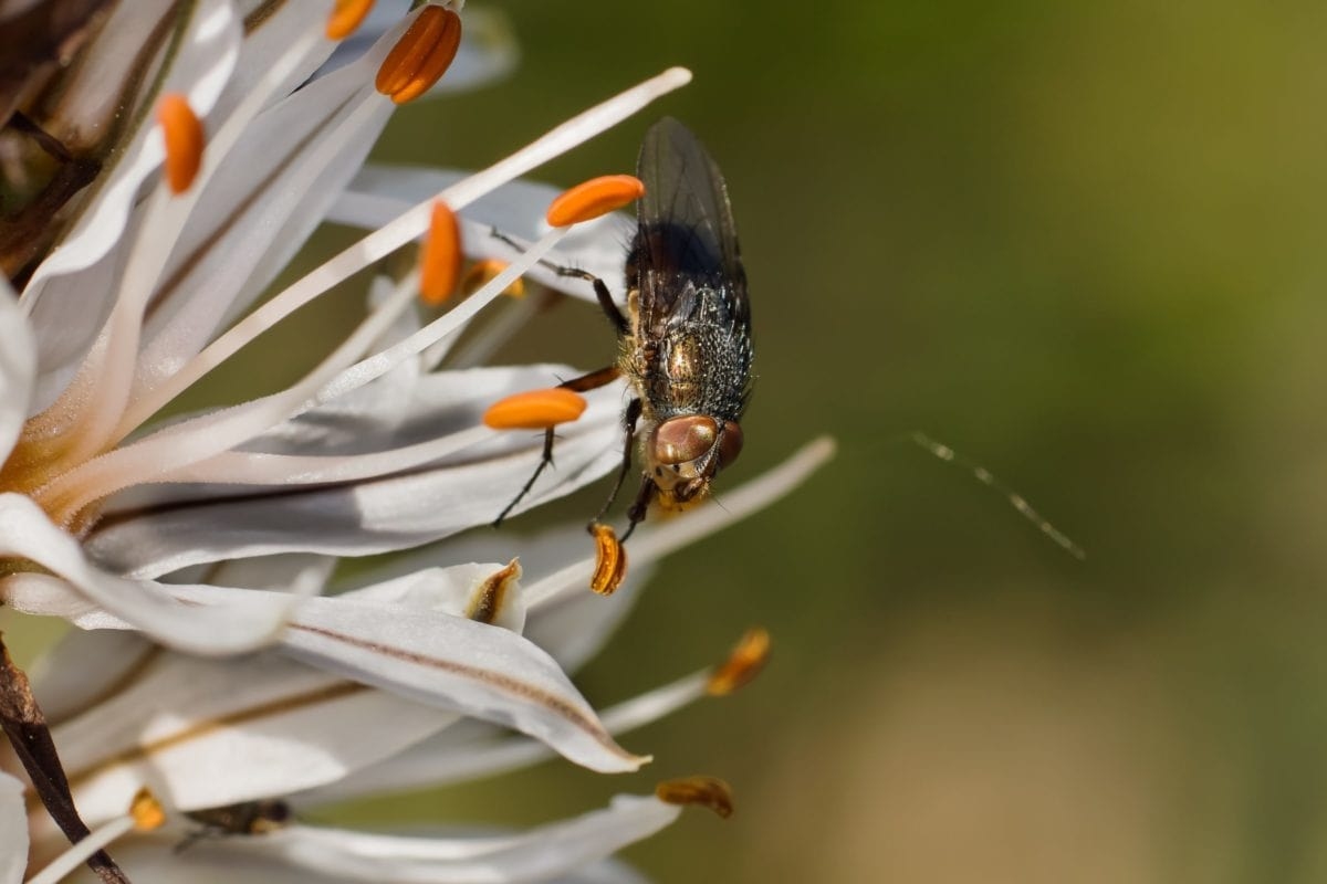 nature, fly insect, plant, flower, pistil, pollen, detail, macro